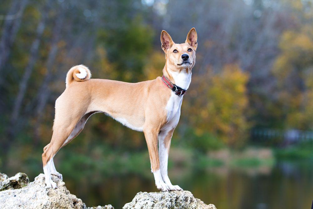 2. Une race de chien inintelligente: le basenji ou terrier du Congo