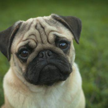 Les 5 races de chiens les plus stupides