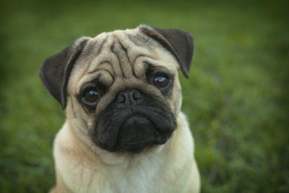 Le top 5 des races de chiens les plus stupides