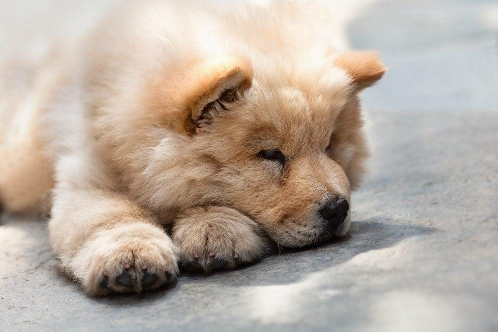 4. Une race de chien peu intelligente: le Chow-Chow