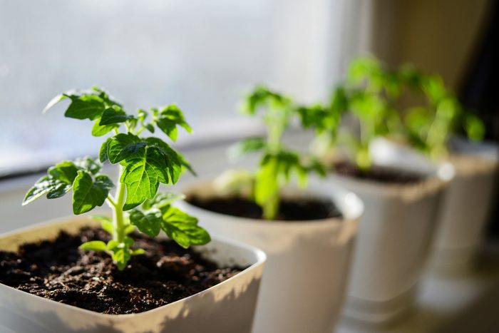 Le sel d'epsom peut être utilisé comme un engrais.