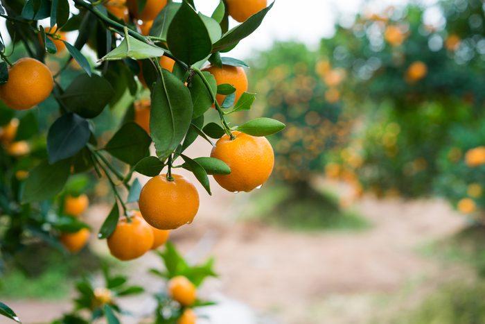 Frottez la peau des kumquats avant de les croquer sera meilleur pour votre santé