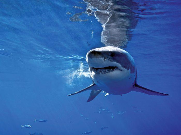 Corps à corps avec un requin blanc