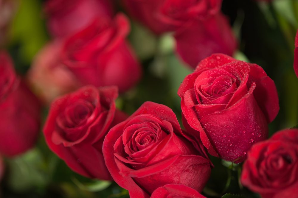 The meaning of red roses: love and passion