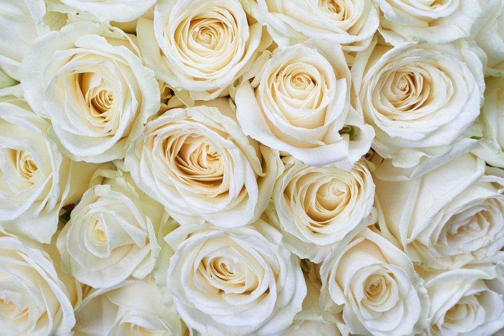 La signification des roses blanches: pureté, innocence et sympathie