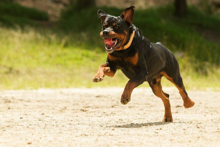 9. Le rottweiler, un chien étonnamment populaire