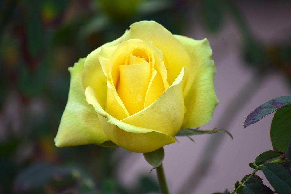 The yellow rose means friendship and joy