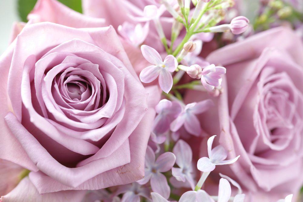 Les roses de couleurs lilas pour le mystère et l'envoûtement