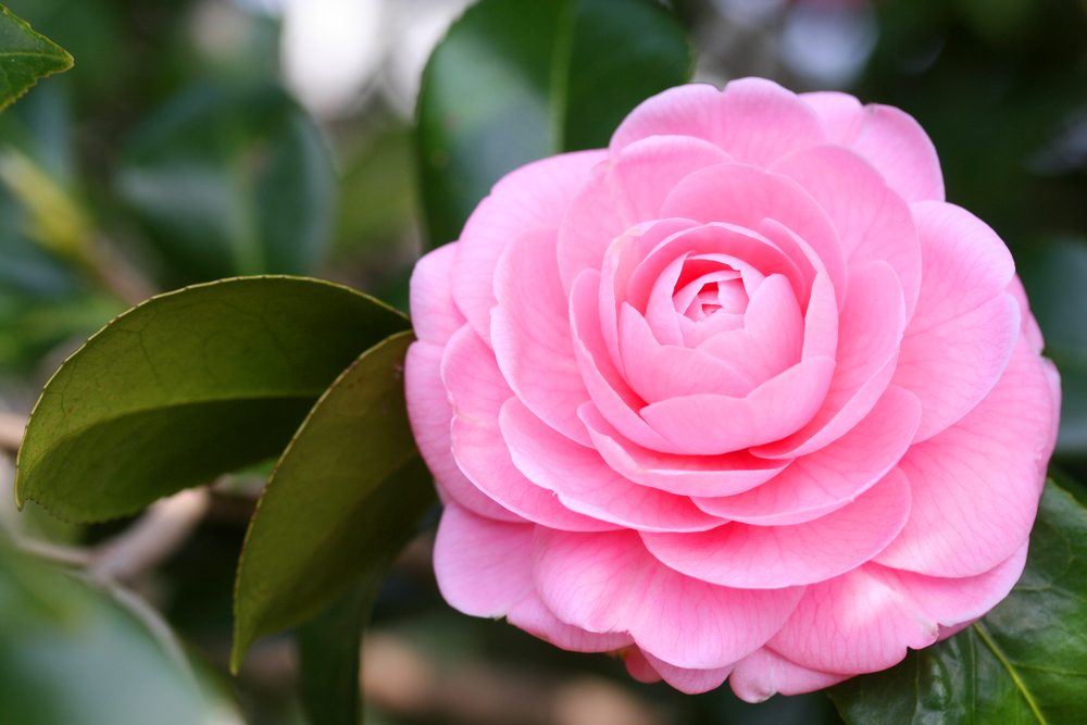 Camellia means loyalty and recognition