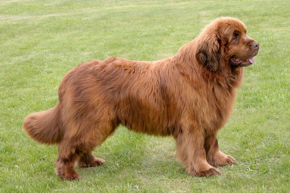Le Terre-Neuve (ou Retriever de Terre-Neuve) est extrêmement gentil, il est ainsi considéré comme un chien excellent pour la famille