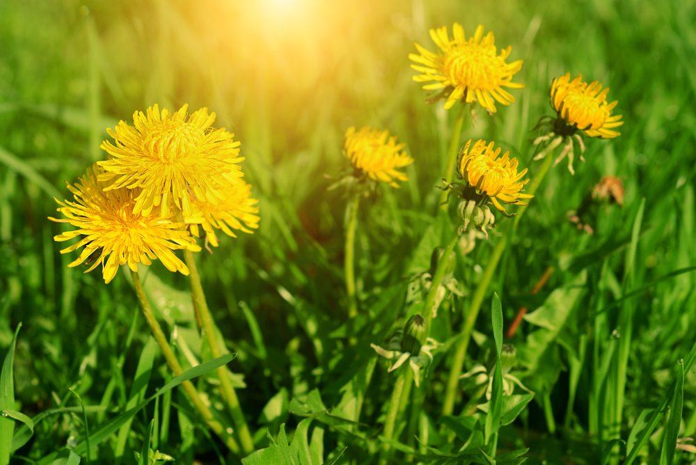 nos trucs naturels pour liminer les mauvaises herbes