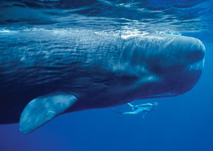 Dossier: des baleines quasi humaines