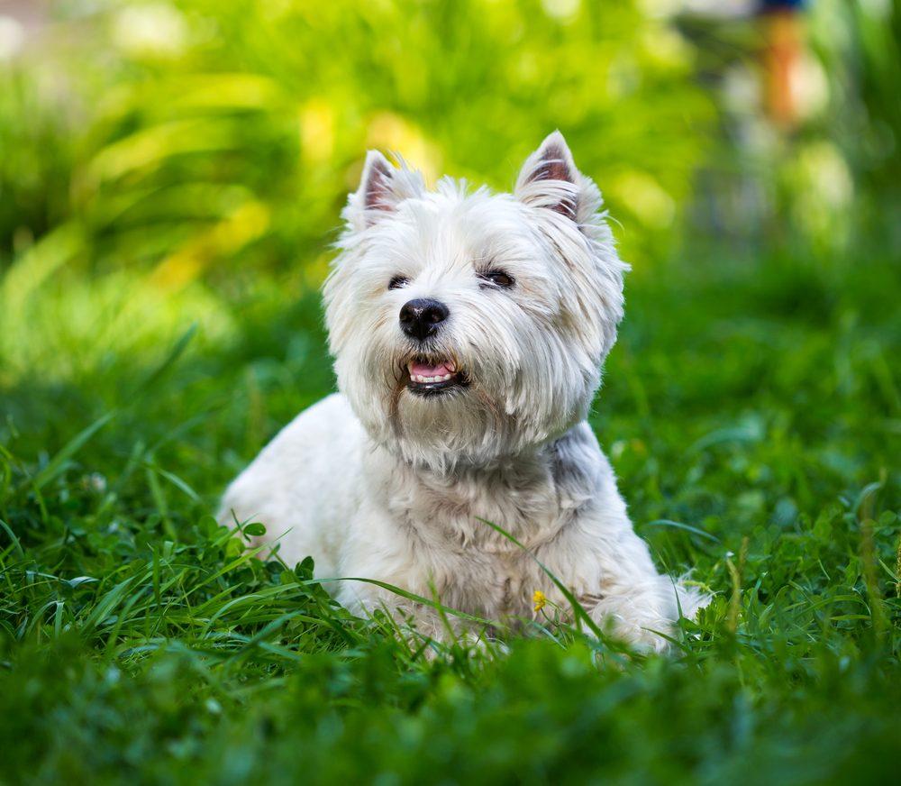 Westie (ou West Highland Whiter Terrier) est bon joueur