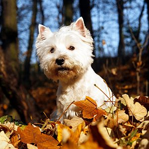 La race la plus bruyante : 7) Le terrier blanc West Highland ou westie