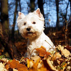 La race la plus bruyante : 7) Le terrier blanc West Highland ou westie