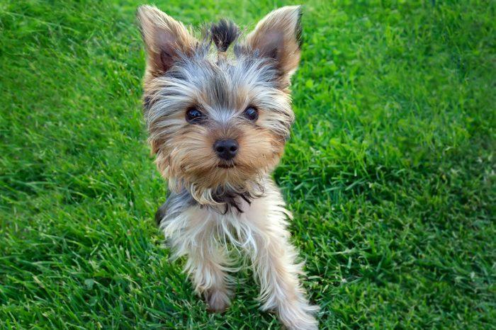 6. Le yorkshire-terrier est un chien populaire