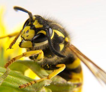 Comment traiterune piqûre d'abeille