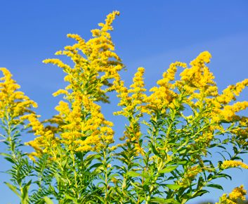 2. Allergie à l'herbe à poux