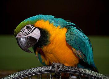 Maladie des perroquets