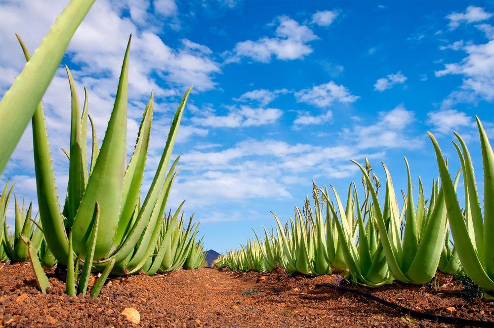 L'aloe vera utilisé depuis des millénaires