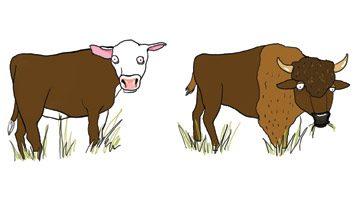 Le classique: le bœuf maigre. La nouveauté: le bison