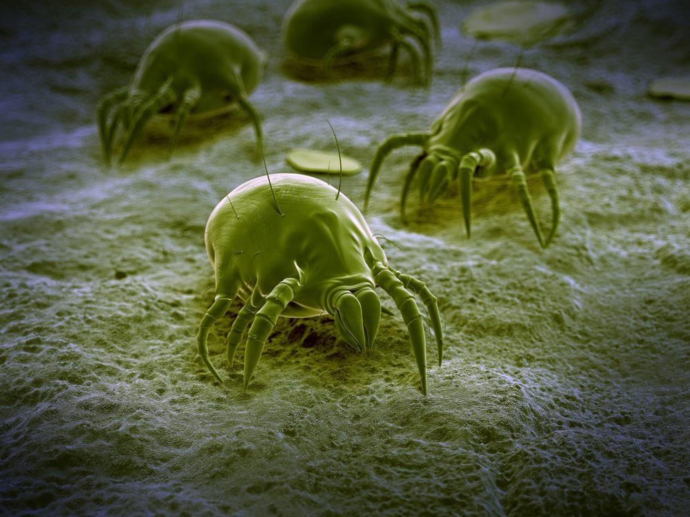 Les acariens sont des organismes microscopiques qui se nourrissent de squames humaines et animales.