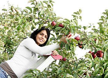 1. Cueillir des pommes