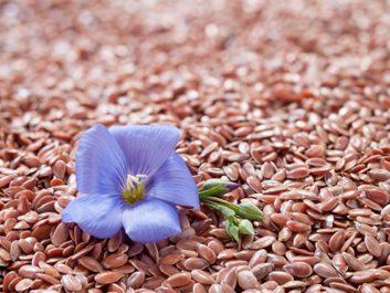 Les graines de lin