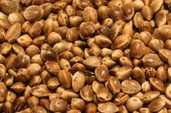 Les graines de chanvre