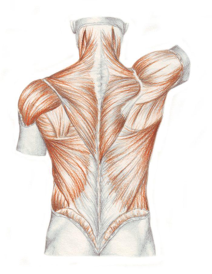Muscles et ligaments