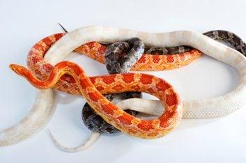 Massage de serpents