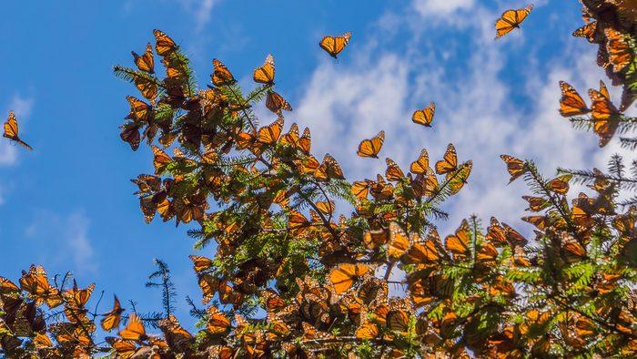 La migration des Monarques dans le Michoacán au Mexique