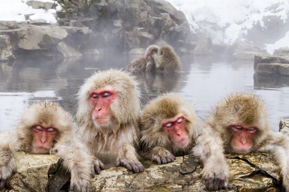 Le Parc aux singes de Jigokudani au Japon