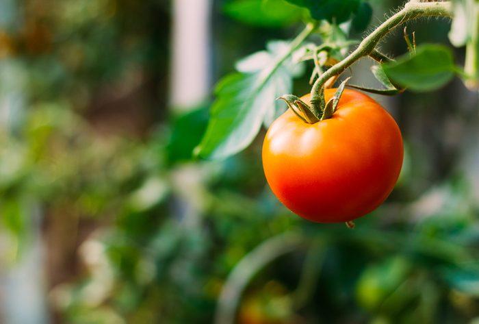 Parmi les légumes les plus faciles à faire pousser, les tomates.