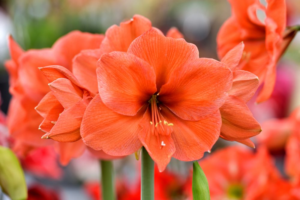 L'amaryllis: la fierté de l'amour que l'on vit et le désir de courtiser