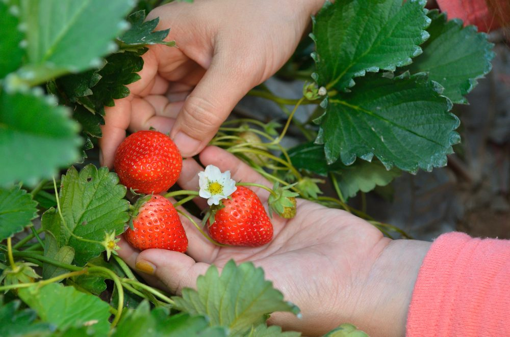 Les mois des fraises au Québec et au Canada.