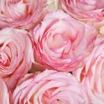 Quelle signification donner aux couleurs des roses et aux autres fleurs?