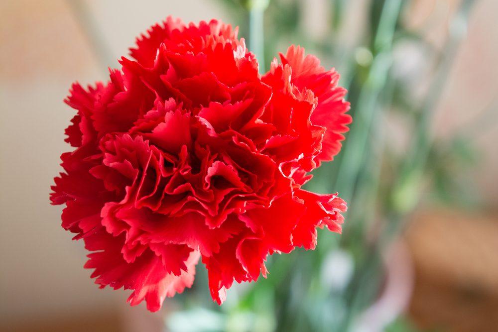 L'œillet des fleuristes pour lui montrer votre amour