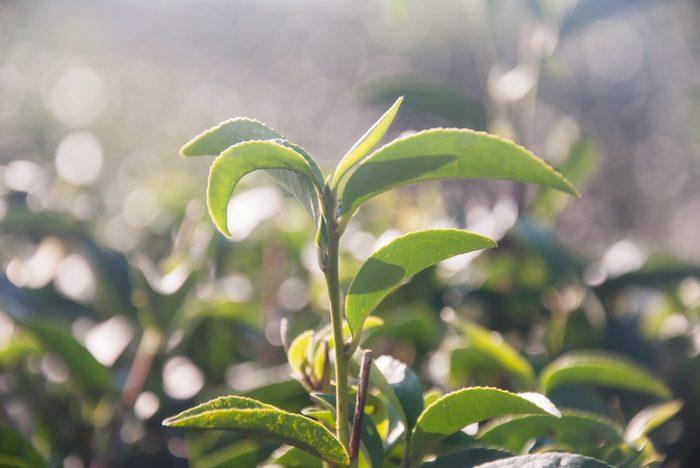 Huile essentielle d'arbre à thé : ses vertus et bienfaits santé.