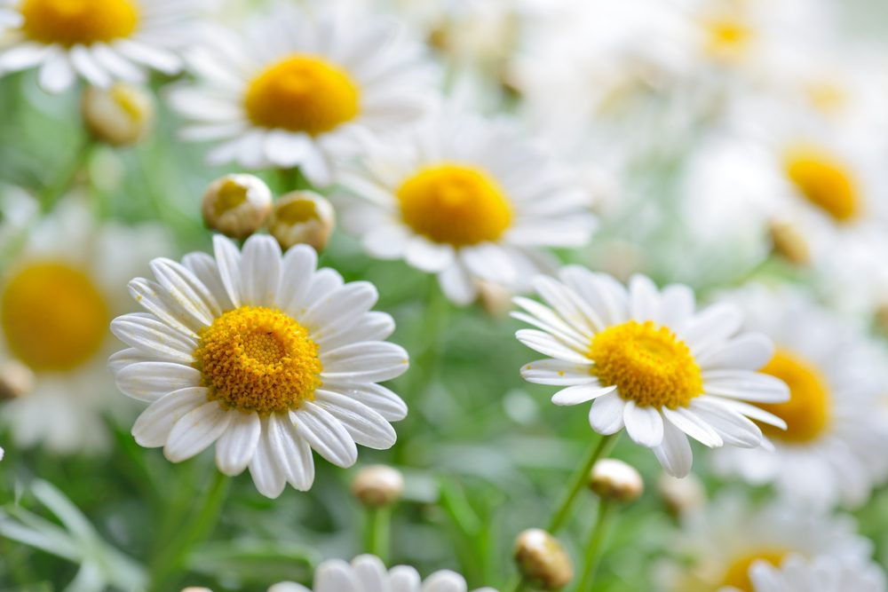 Chamomile: The powerful benefits and virtues of chamomile