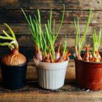 10 bienfaits des oignons sur votre santé