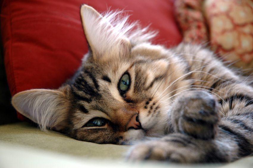 Votre chat pourrait miauler car il souffre d'hypertension