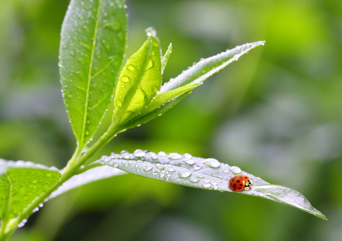 L'arbre à thé : ses nombreux bienfaits peuvent aider à soulager les blessures et contrer les champignons.