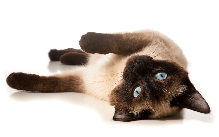 Il appartient à une race de chat plus bruyante