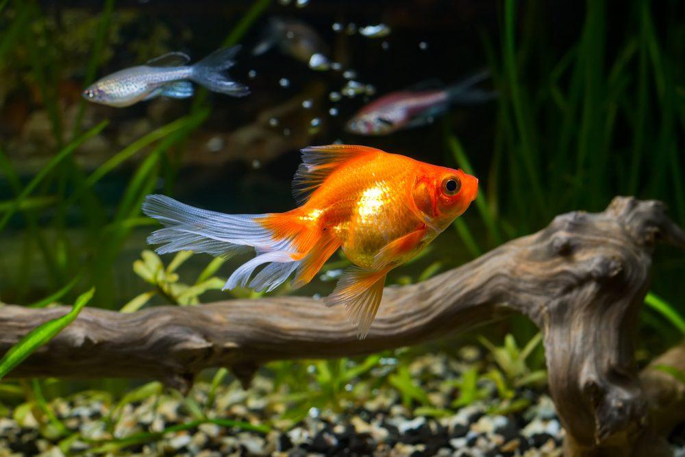 La vérité sur les poissons rouges