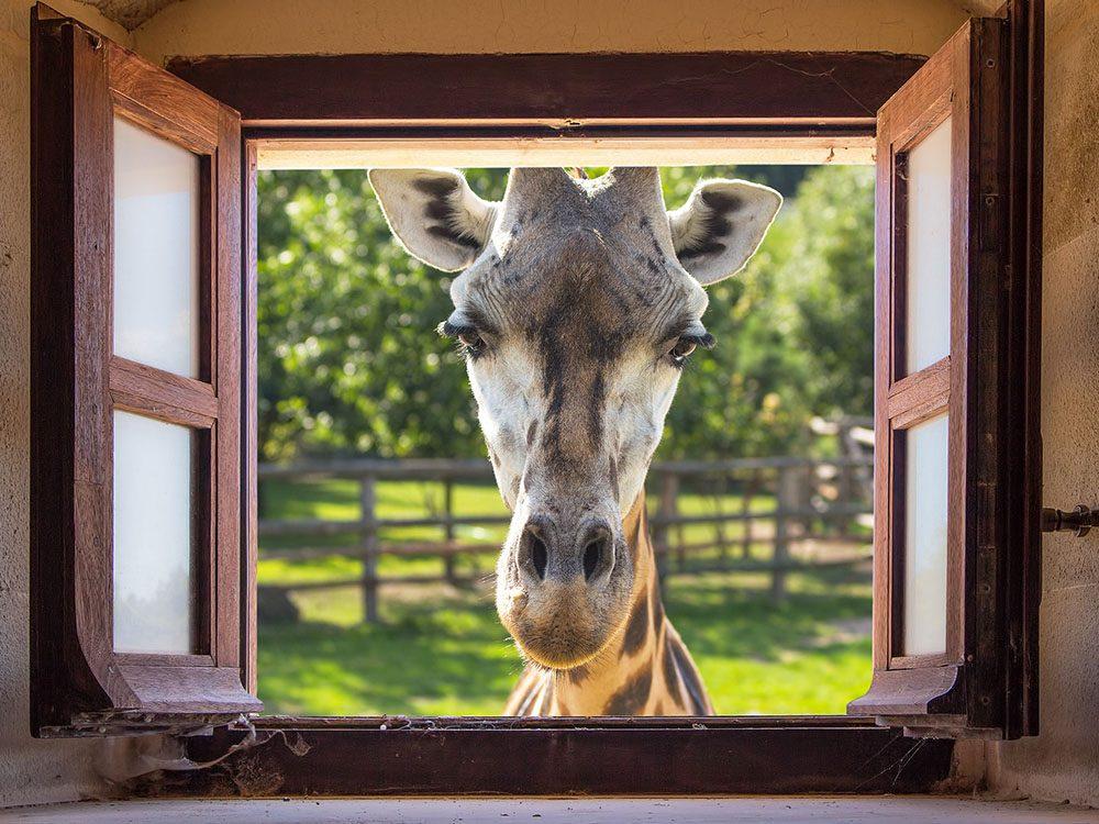 Parmi les offres étranges dans les hôtels, le Giraffe Manor propose un déjeuner avec des girafes.