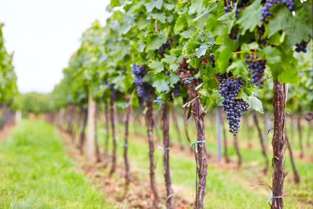 Goûtez les vins du Domaine Bresee.
