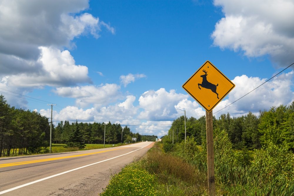 Si un chevreuil surgit sur votre route essayez de rester calme et de l'éviter en freinant et en déviant de votre trajectoire le moins possible