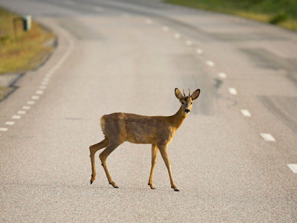 Accidents mortels: vous apercevez un chevreuil qui surgit surla route.