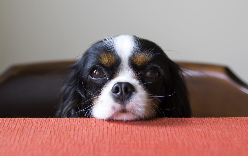 Regarder votre chien dans les yeux produit une hormone nommé ocytocine chez son maitre.